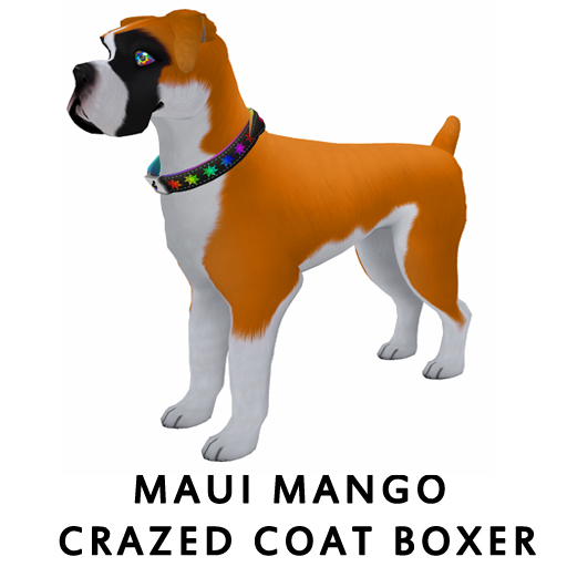 Maui_Mango_Crazed_Coat_Boxer
