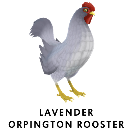 Lavender orpington Rooster