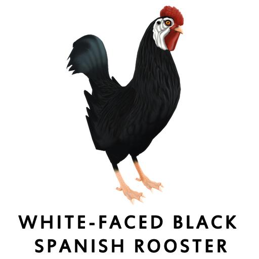 White-Faced Black SpanishRooster
