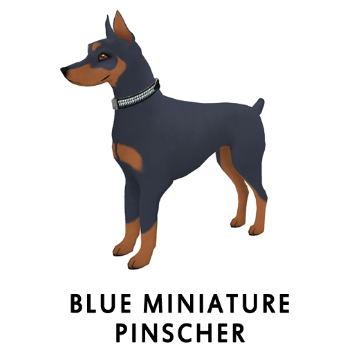 BlueMiniature Pinscher